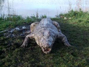 thehatching_crocodile