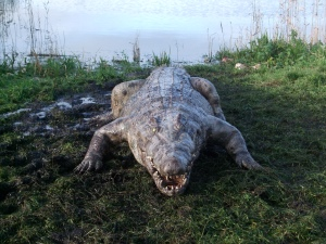 thehatching_crocodile